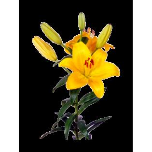 Coroas Lilium Asiatico amarelo 3Unid.