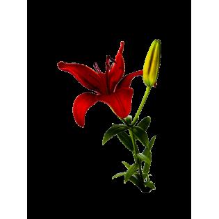 Coroas Lilium Asiatico Vermelho 3Unid.