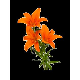 Coroas Lilium Asiatico Laranja 3Unid.